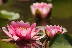 Waterlily (Teruhide Tomori) Tags: spring nature water waterlily kyoto japan japon pond kajuuji 京都 スイレン 日本 花 自然 春 勧修寺 flower