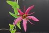 Passiflora perfoliata L. (FlosPassionis) Tags: passiflora perfoliata