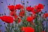 Червени макове (sevdelinkata) Tags: poppy flower bulgaria