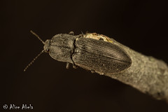 Possible Hadromorphus glaucus (aliceinwl1) Tags: arthropod arthropoda ca california clickbeetle coleoptera cuestaridge dendrometrinae elateridae elateroidea hadromorphus hadromorphusglaucus insect insecta lospadresnationalforest polyphaga prosternini sanluisobispocounty serieselateriformia beetle glaucus locpublic viseveryone
