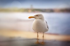gull.. (salihseviner) Tags: seagull
