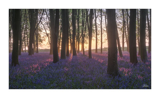 Bluebell Morning - Explored!