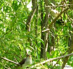 Yellow-billed Cuckoo_N3464 (Henryr10) Tags: coccyzusamericanus coccyzus yellowbilledcuckoo cuckoo avian bird vogel ibon oiseau pasare fågel uccello tékklistar ybcu
