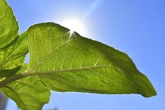 Upon the Edge of Illumination (Robin Shepperson) Tags: green plant leaf leaves sunshine illumination d3400 nikon berlin germany skyward sun light blue stem summer garden nature