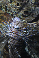 Pterois / Lion Fish (Adventurer Dustin Holmes) Tags: 2018 wondersofwildlife pterois lionfish animalia saltwater aquarium chordata aquatic