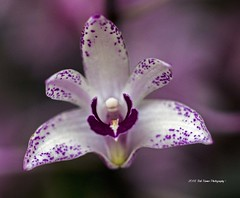 Orchid Purple & White (rumerbob) Tags: orchidpurple orchid longwoodgardens flower floral flowergarden fauna macro macroflower macrophotography botany botanicalgardens botanical nature naturewatcher naturephotography canon7dmarkii canon100mmmacrolens