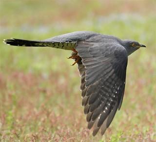 365 - Image 133 - Cuckoo in flight...