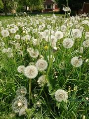 Waiting on the wind. (Simply Sharon !) Tags: dandelionclocks dandelions taraxacumofficinale wildflowers springflowers nature may