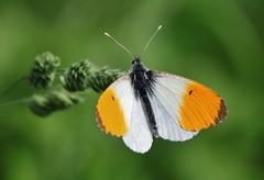 Aurorafalter (Anthocharis cardamines) (Hugo von Schreck) Tags: hugovonschreck aurorafalter anthochariscardamines butterfly schmetterling falter macro makro insect insekt fantasticnature canoneos5dsr tamron28300mmf3563divcpzda010