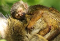 squirrelmonkey apenheul BB2A1801 (j.a.kok) Tags: doodshoofdaapje aap mammal monkey squirrelmonkey animal zoogdier zuidamerika southamerica apenheul primaat primate