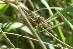 Black-tailed skimmer (ocelotcreative) Tags: blacktailedskimmer dragonfly ukwildlife londonwildlife londonwetlandcentre