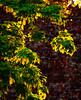 Sunlit Maples (Craig Hemsath) Tags: spring mirrorless microfourthirds panasonic g9 tree forest iowa leaves leaf telephoto sunset light golden hour