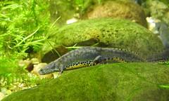 Alpine Newt (blue33hibiscus) Tags: amphibian alpinenewt wwt slimbridge gloucestershire
