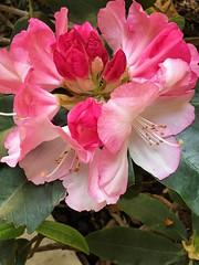 (LOLODUTERRIER) Tags: fleur printemps été rose rouge parfum odeur blanc lilas iris jardin aubépine tulipe