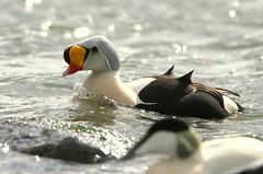 King Eider..........Somateria spectabilis (gus guthrie1) Tags: rarity king eider duck ythan estuary aberdeenshire scotland plumage nature wildlife waves yellow