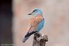 Ghiandaia marina _008 (Rolando CRINITI) Tags: ghiandaiamarina uccelli uccello birds ornitologia periprava deltadeldanubio ultimafrontiera romania natura