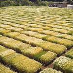 Wheat field in Terbol Station, Lebanon thumbnail