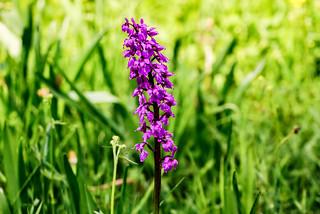 Orchidee im Lampertsbachtal