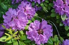 Rododendron (Hugo Sluimer) Tags: broekpolder vlaardingen zuidholland holland nederland natuur nature natuurfotografie natuurfotograaf naturephotography natuurinbloei