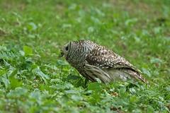 05202018Barred Owl FU5A1711 (Steven Arvid Gerde) Tags: owl