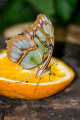 Butterfly (sval92) Tags: butterfly butter fly insect wings pattern colour orange feeding legs close u up macro photo lens nikon chester zoo