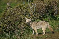 Coyote #101 (lennycarl08) Tags: animalplanet animals coyote wildlife pointreyesnationalseashore pointreyes