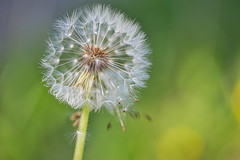 Pusteblume 1 (joseph_donnelly) Tags: pusteblume dandelion seed seeds green yellow flower wind blow löwenzahn forest wild