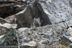 Pika aufgenommen auf dem Cascade Mountain Tail (Banff, Alberta) - Pika photographed on the Cascade Mountain Trail (Banff, Alberta) (klausmoseleit) Tags: landschaft orte rockymountains felsen berge nikond7200 200500mmf56 msphotographie photographie kanada banff pika jahreszeit tiere säugetiere alberta sommer stein improvementdistrictno9 ca