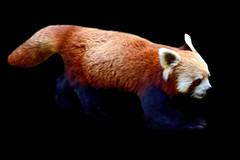 India - West Bengal - Darjeeling - Himalayan Zoological Park - Red Panda - 1d (asienman) Tags: india westbengal darjeeling himalayanzoologicalpark asienmanphotography asienmanphotoart redpanda