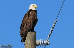 Balance of power (Shannon Rose O'Shea) Tags: shannonroseoshea shannonosheawildlifephotography shannonoshea shannon baldeagle eagle bird beak feathers wings powerpole powerlines joeoverstreetroad kenansville osceolacounty florida flickr colorful outdoors outdoor nature wildlife raptor art photo photography photograph wild wildlifephotography wildlifephotographer wildlifephotograph haliaeetusleucocephalus bluesky pole canon canoneos80d canon80d eos80d 80d canon100400mm14556lisiiusm femalephotographer girlphotographer shootlikeagirl shootwithacamera throughherlens talons vibrationdampers