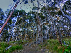 Tall forest (elphweb) Tags: hdr highdynamicrange nsw australia tree trees forest bush wood woods