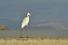 Grande aigrette (colibry68) Tags: oiseaux kenya rift baringo grande aigrette jossh68