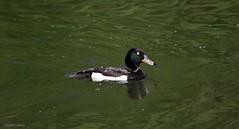 J78A0491 (M0JRA) Tags: birds flight flying wildlife rats walks gardens parks fields trees lakes ponds ducks swans rspb