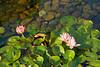 Water lily (snapcat101) Tags: p3090438 chilinnunnery 志蓮淨苑 diamondhill kowloon hongkong