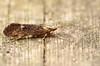Caddisfly - Apatania muliebris (andrewkirby255) Tags: caddisfly stokeabbott
