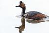 Eared Grebe-48272.jpg (Mully410 * Images) Tags: earedgrebe avian birding coonrapidsdam bird birds grebe birdwatching birder mississippinationalriverrecreationarea nationalpark