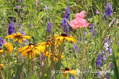 Lancaster Wildflower Meadow (233) (Framemaker 2014) Tags: lancaster wildflower meadow manhiem township pennsylvania dutch country county united states america