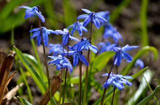 Beautiful spring! 🌷 Scilla Bifolia #Helsinki #Finland