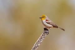 CC7A2980.jpg (gilamonster8) Tags: wood flickrexplore tucson 5dmarkiv yellow explored verdin arizona bird bokeh cactus cholla canon ngc animal