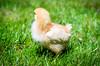 Baby Chickens-3 (sammycj2a) Tags: chick chickens backyardfarm farm chicks pullets straightrun backyard nikon nikkor lightroom