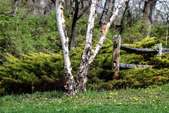 "River birch tree (Millie Cruz * ""On and Off-Busy"") Tags: birch tree riverbirchtree unioncanaltunnelpark lebanonpennsylvania park plants vegetations green fence wood flowers wildflowers trees bark dandelion tamron150600 saveearth"