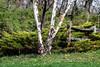 "River birch tree (Millie Cruz * ""On and Off-Busy"") Tags: birch tree riverbirchtree unioncanaltunnelpark lebanonpennsylvania park plants vegetations green fence wood flowers wildflowers trees bark dandelion tamron150600 saveearth"
