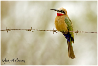 The Colourful Bee-eater!