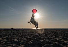 Jump (Georgie Pauwels) Tags: dog jackrussell baloon jump play beach beachlife sunlight dogphotography fujifilm
