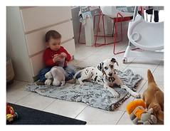 Album Chiens Clients Janvier-Avril 2018 (32) (Dalmatien-Golden-Braque) Tags: dalmatien goldenretriever braquedeweimar chien carcassonne elevage eleveur animaux dog breader