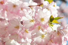 The last of the pink (DameBoudicca) Tags: sweden sverige schweden suecia suède svezia スウェーデン cherryblossom sakura kirschblüte 桜 japanischekirschblüte fleursdecerisier fiorediciliegio サクラ körsbärsblomma tree träd 木 baum arbre pink rosa rose ピンク flower blossom blomma blüte flor fiore fleur 花 はな spring vår frühling frühjahr primavera printemps 春 はる
