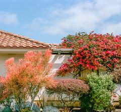 garden party (Keegan L) Tags: delmarca delmar california mamiya mamiya7 ektar film analog mediumformat 67 6x7 120mm garden plants filmcamera color