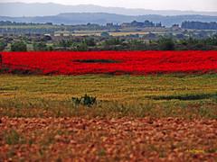 Campo de Amapolas   (3) (eb3alfmiguel) Tags: campos rojo amapolas