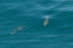 Under the sea (SBGrad) Tags: 200500mmf56e 2018 alr bigsur bottlenosedolphin california d300s nikkor nikon wildlife dolphin mammal nature ocean nikonnaturephotography