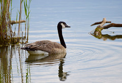 out for a swim (Mark.Swanson) Tags: bird goose canadagoose brantacanadensis marsh bannermarsh fultoncounty illinois